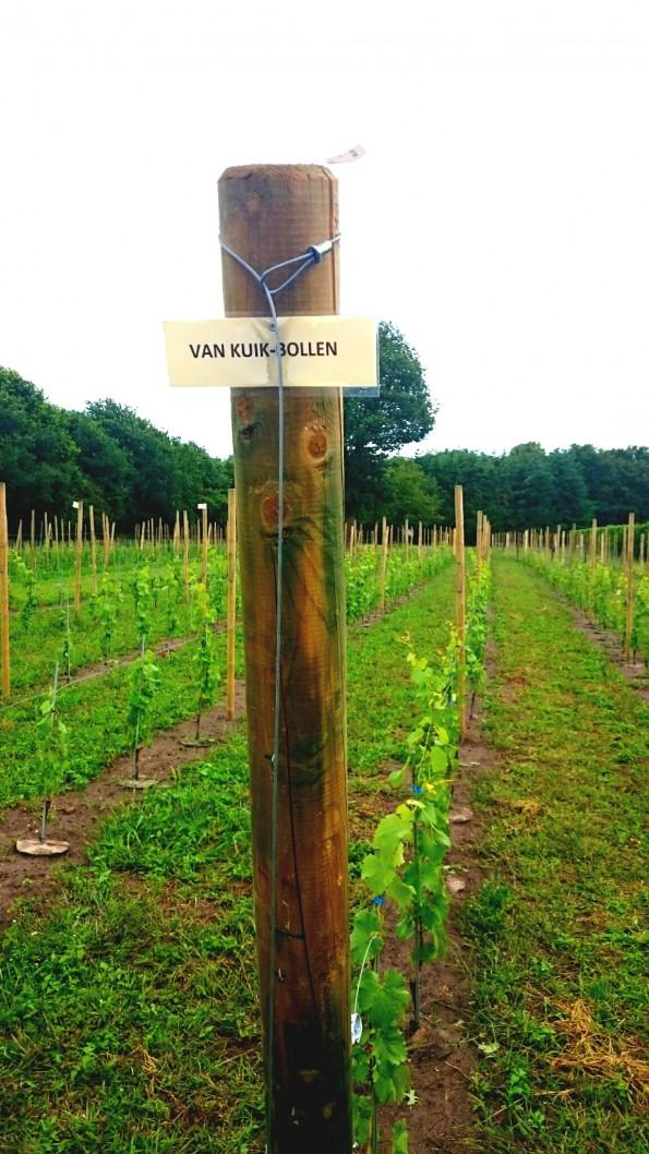 De tien wijnstokken op Wijngaard Zonnestraal