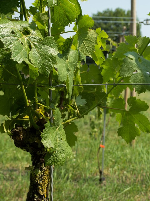 lente oogstjaar wijnstok nederlandse wijngaarden