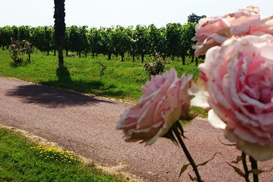 hoofdfoto wijnreis Bordeaux rozenstruiken wijngaard