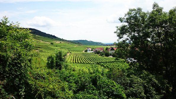 wijngaarden elzas colmar