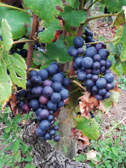 Bourgogne nederlandse wijngaarden