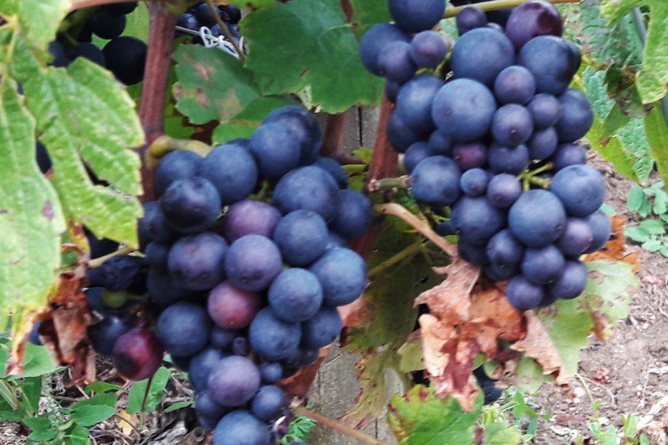 oogstjaar Bourgogne nederlandse wijngaarden