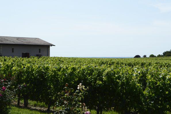 rozenstruiken wijngaard meeldauw 2